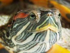 Кальций для красноухих черепах