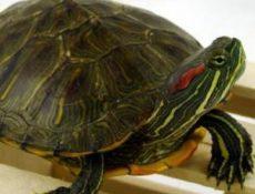 Как выбрать здоровую красноухую черепаху?