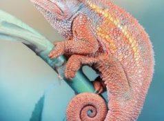 Хамелеон: особенности рептилии