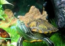 Почему красноухая черепаха не ест?