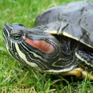Сколько живут красноухие черепахи в домашних условиях 96