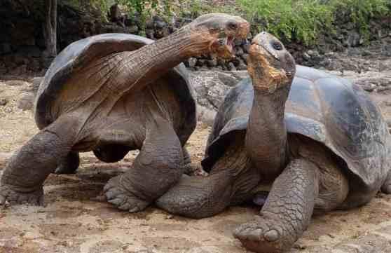 Размножение черепах в домашних условиях, основные моменты