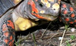 Красноногая (угольная) черепаха