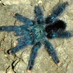 Паук тарантул