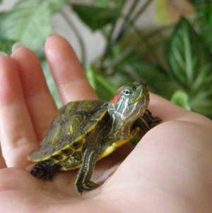 Наиболее часто встречающиеся заболевания красноухих черепах