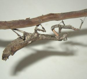 Африканский веточный богомол