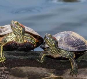 Сколько живут красноухие черепахи в дикой природе и в домашних условиях?