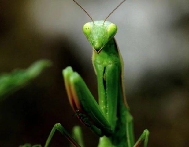 Фото богомола обыкновенного