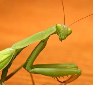 богомол: чем кормить хищное насекомое