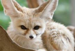 Интересные факты о лисичке фенек