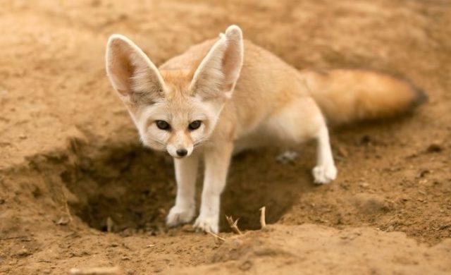 Лиса фенек - пустынный житель
