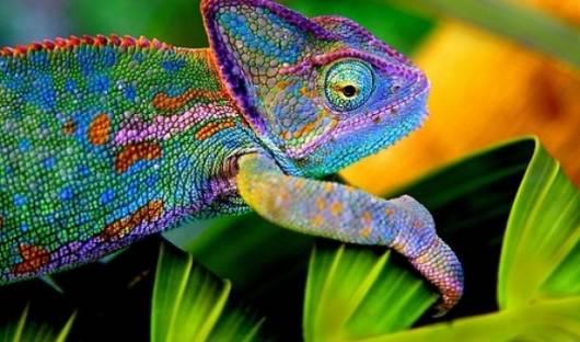 Как хамелеоны меняют цвет видео