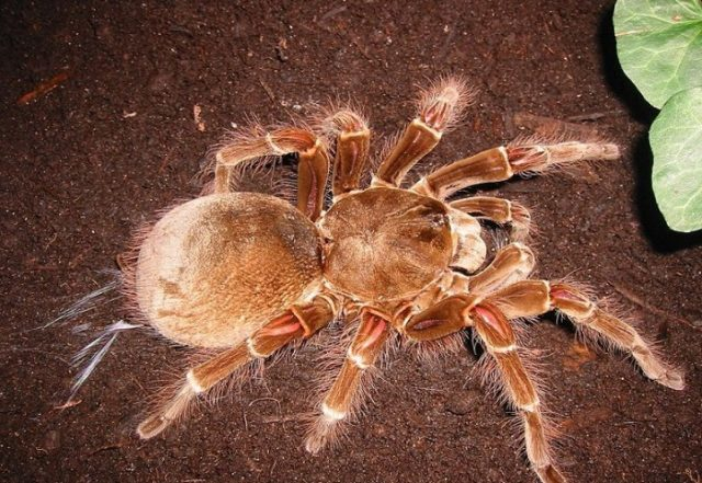 Домашний паук-птицеед — особенности содержания
