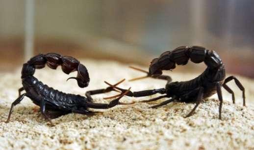 sparivanie-skorpionov