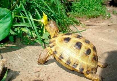 рацион среднеазиатской черепахи