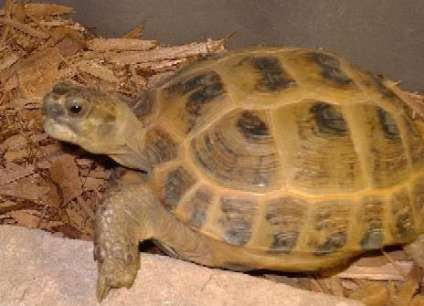спячка сухопутных черепах