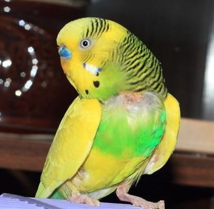 почему попугай выщипывает на себе перья