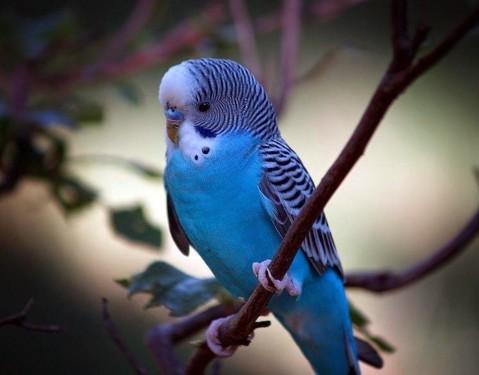 волнистые попугаи неприхотливы в уходе