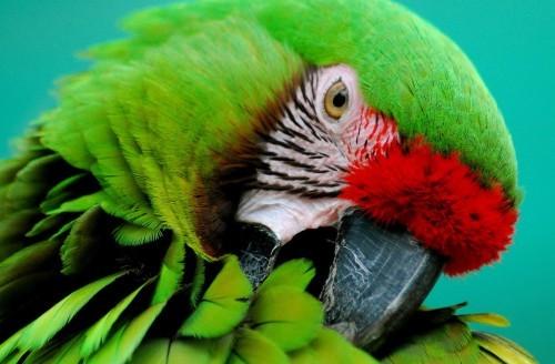 попугай выщипывает перья: что делать