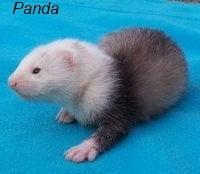 хорек panda