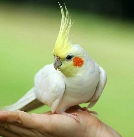 знакомство попугаев первые дни