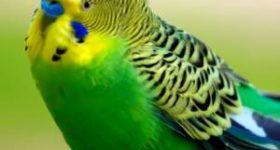 Подагра у волнистого попугая