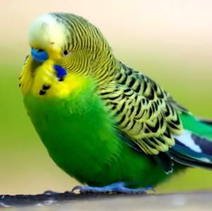 заболевание подагра у волнистых попугаев