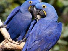 Гиацинтовые ара