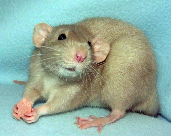 Как правильно перевозить крысу