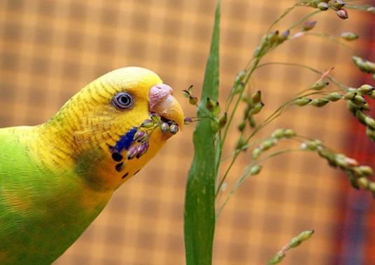 симтомы авитаминоза у попугаев