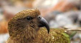 Попугай кеа