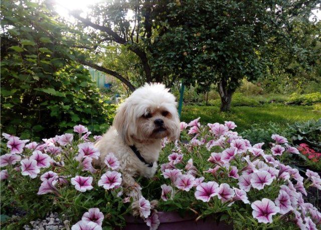 Ши-тцу - фото собаки среди цветов
