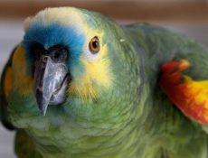 Как определить, что попугай заболел?