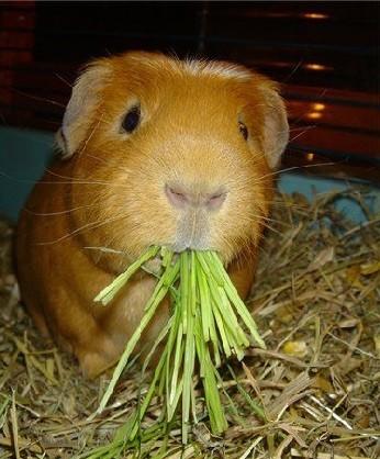 Какие травы можно давать морской свинке