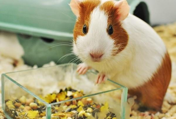 Рацион морской свинки в домашних условиях