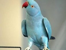 Как сделать укол попугаю?