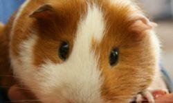 Как заботиться о больной морской свинке?