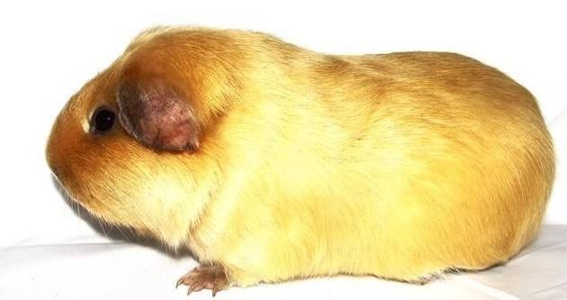 Сатиновая морская свинка