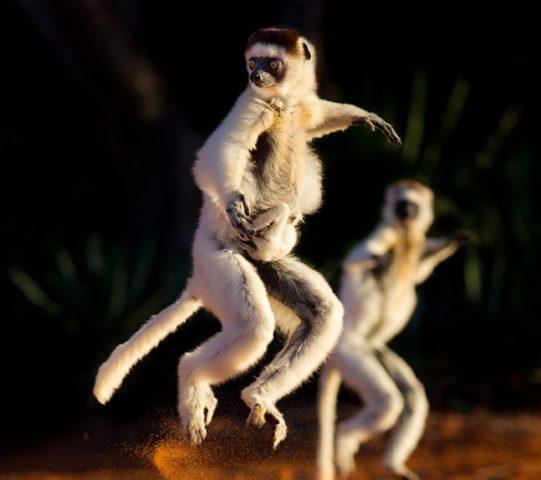 танцующие сифаки