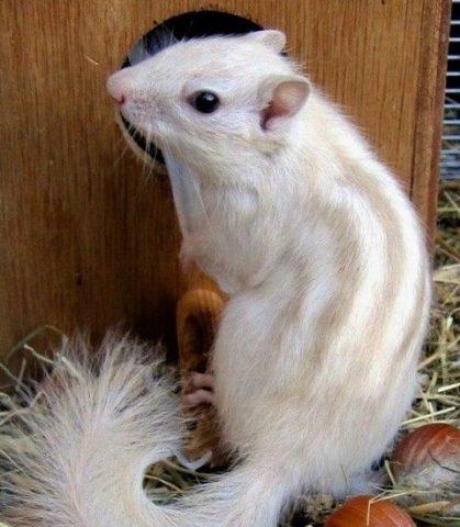 бурундук белый