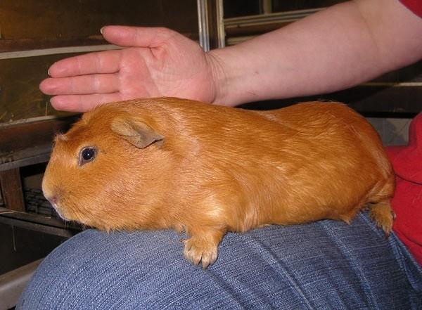 Гигантская морская свинка Куи