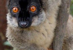 Лемуры: фото, виды, описание