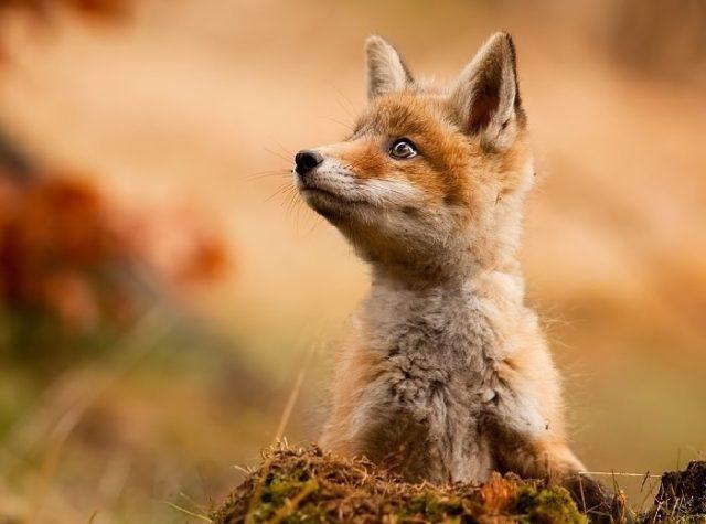 Размножение лисиц