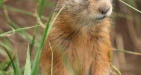 Суслики: виды, фото, описание, содержание