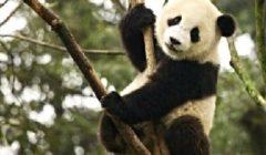 Большая панда — таинственный бамбуковый медведь