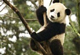 Большая панда – таинственный бамбуковый медведь