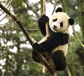 Большая панда - таинственный бамбуковый медведь