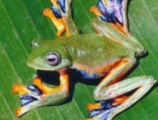 Яванская веслоногая летающая лягушка