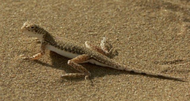 Ящерица песчаная круглоголовка