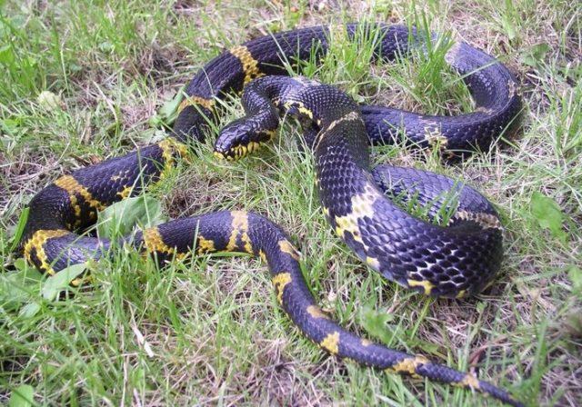 Гадюка – самая опасная змея наших широт